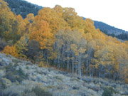 Autumn Aspens, Sierra Nevada Mountains