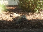 Komodo Dragon San Diego Zoo
