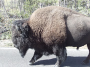 Male Bison on Road, Yellowstone
