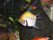 Marble Sunset Blushing Angel Fish